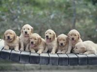 Pediatrie canina / Date informative